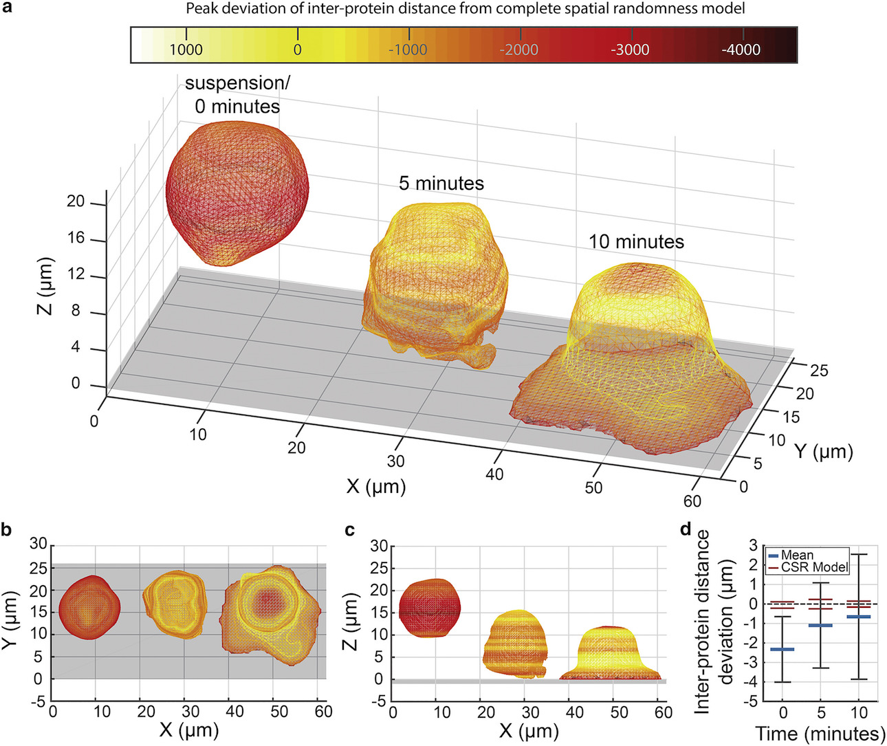 isualization of large-scale reorganization of the outer membrane of Jurkat T cells on activating coated surfaces by mesh fitting to 3D localization data